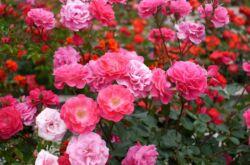 Роза полиантовая – посадка и уход в открытом грунте. Выращивание полиантовой розы из семян. Описание, виды. Фото