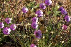 Ксерантемум – посадка и уход в открытом грунте. Выращивание ксерантемума из семян, способы размножения. Описание, виды. Фото