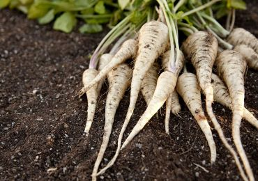 Овощ пастернак – посадка и уход в открытом грунте. Выращивание пастернака из семян. Описание, виды. Фото