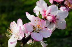 Миндаль – посадка и уход в открытом грунте. Выращивание миндаля, способы размножения. Описание, виды. Фото