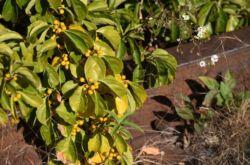Древогубец: посадка и уход в открытом грунте, выращивание из семян