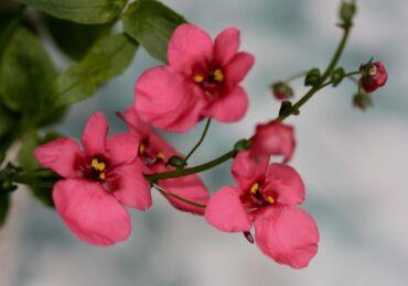Диасция: посадка и уход в открытом грунте, выращивание в домашних условиях