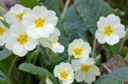 Садовая примула: посадка и уход в открытом грунте, выращивание из семян