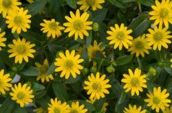 Санвиталия: посадка и уход в открытом грунте, выращивание из семян