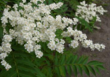 Рябинник: посадка и уход в открытом грунте, выращивание и размножение