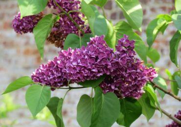 Сирень: посадка и уход в открытом грунте, выращивание в саду