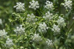 Трава болиголов: выращивание из семян, лечебные свойства и противопоказания