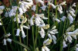 Гальтония: посадка и уход в открытом грунте, выращивание в саду