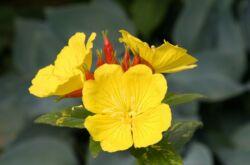Энотера (ослинник): посадка и уход в открытом грунте, выращивание из семян