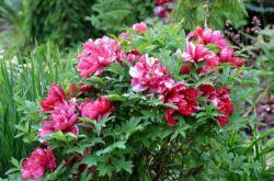 Пионы древовидные: посадка и уход в открытом грунте, выращивание в саду