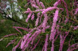 Тамарикс: посадка и уход в открытом грунте, выращивание, фото и виды
