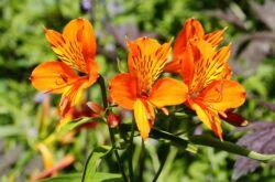 Альстромерия: посадка и уход в открытом грунте, выращивание из семян, фото и виды