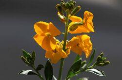 Желтушник: посадка и уход в открытом грунте, лечебные свойства и противопоказания