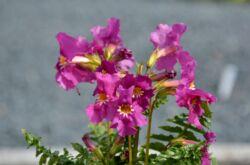 Инкарвиллея: посадка и уход в открытом грунте, выращивание, фото и виды