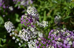 Лобулярия: посадка и уход в открытом грунте, выращивание из семян, фото и виды