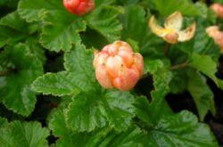 Морошка: посадка и уход в открытом грунте, лечебные свойства и противопоказания