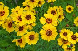 Кореопсис: посадка и уход в открытом грунте, выращивание из семян, фото и виды