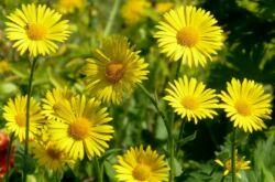 Дороникум: выращивание из семян, посадка и уход в открытом грунте