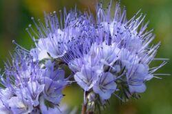 Фацелия: посадка и уход в открытом грунте, выращивание из семян, фото и виды