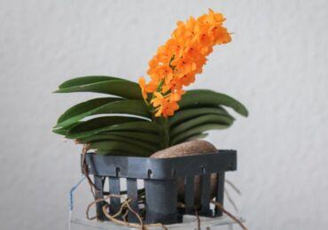 Орхидея аскоцентрум