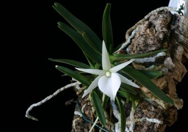 Орхидея ангрекум