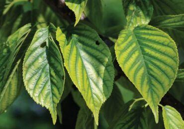 Хлороз растений