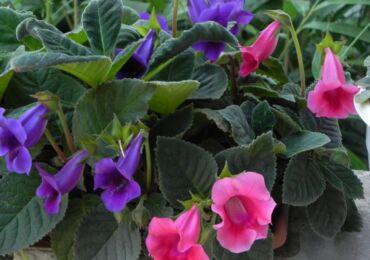 Растение тидея