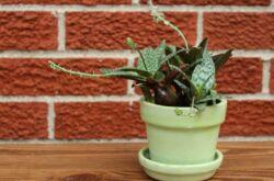 Растение ледебурия
