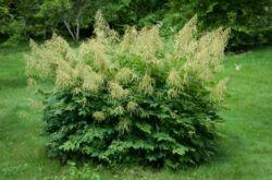 Растение волжанка