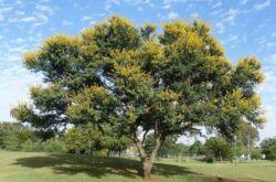 Дерево акация