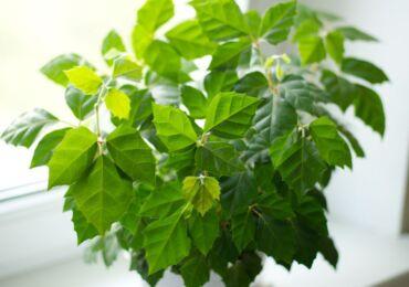 Растение циссус