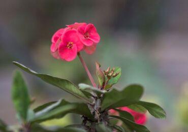 Растение молочай миля