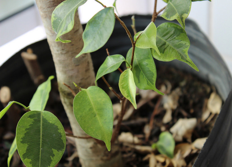 Главная проблема фикуса Бенджамина — резкое опадение листьев, причиной которого могут быть самые разные факторы.