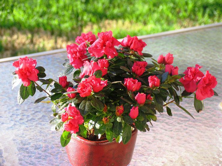 Цветок азалия фото и уход в домашних условиях