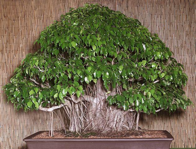 чтобы ствол приобрел толщину и фактурность, опытные флористы садят 2-3 растения вместе