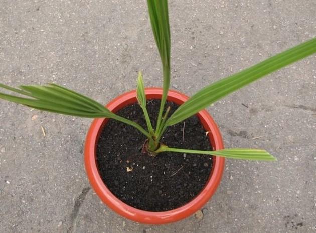 Размножение финиковой пальмы из косточки
