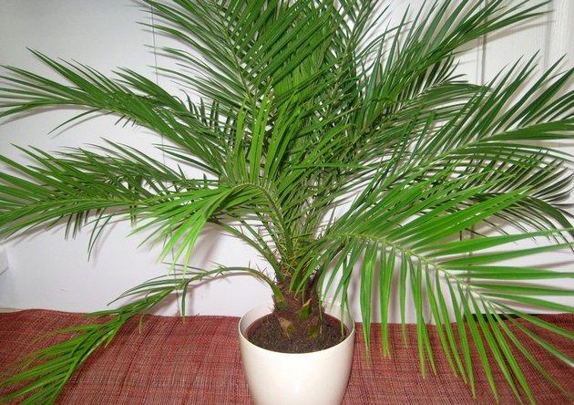 Что необходимо знать, чтобы финиковая пальма чувствовала себя «как дома»?