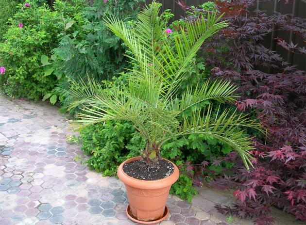 Самое главное условие, это чтобы в горшке с растением был хороший дренаж – пальмы не любят застой воды.