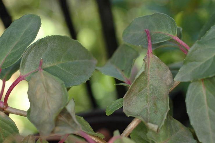 Опадают листья фуксии