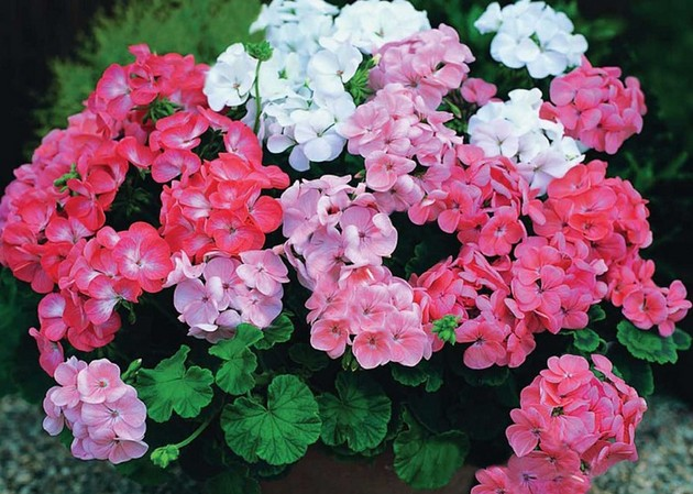 Калерия цветок - уход в домашних условиях, размножение, видео 28