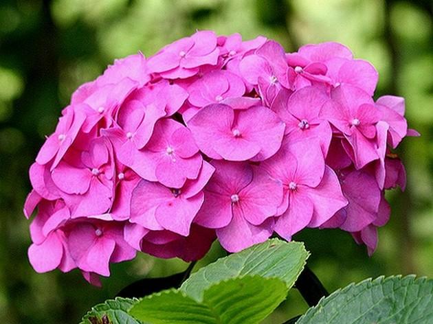 Фото растение гортензия