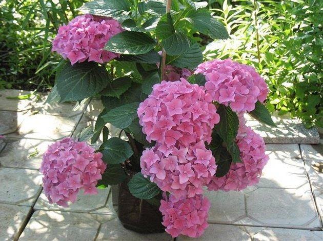 Как правило, самые пышные и довольно крупные цветки можно получить в первые годы, когда растение цветет