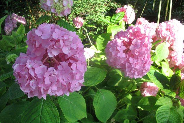 Гортензия является теплолюбивым и светолюбивым растением