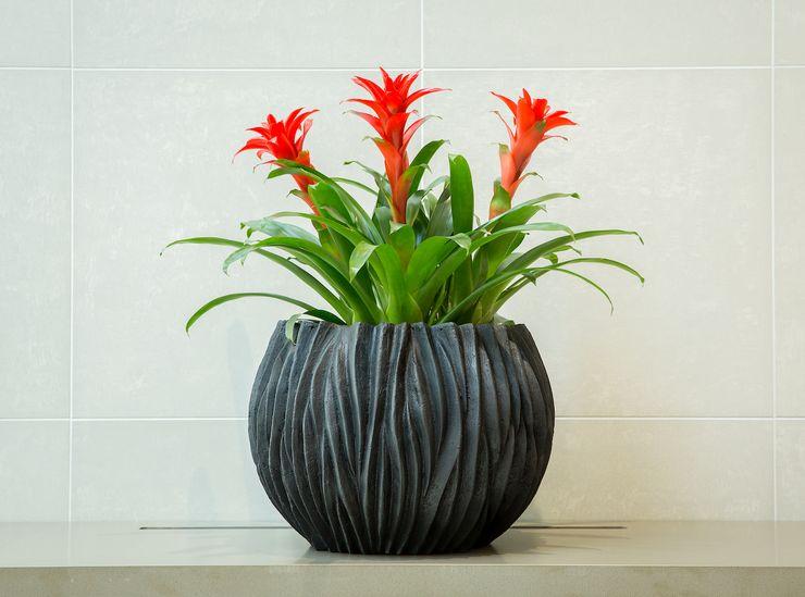 Растение гузмания
