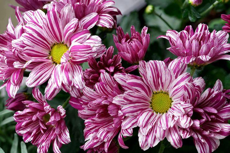 Почему не цветет хризантема