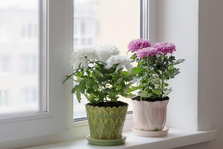 Освещение для домашней хризантемы