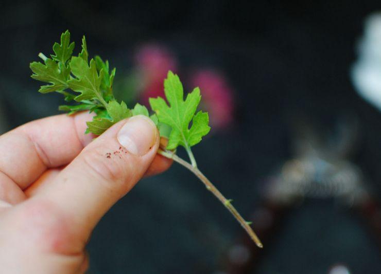 Размножение комнатной хризантемы черенками