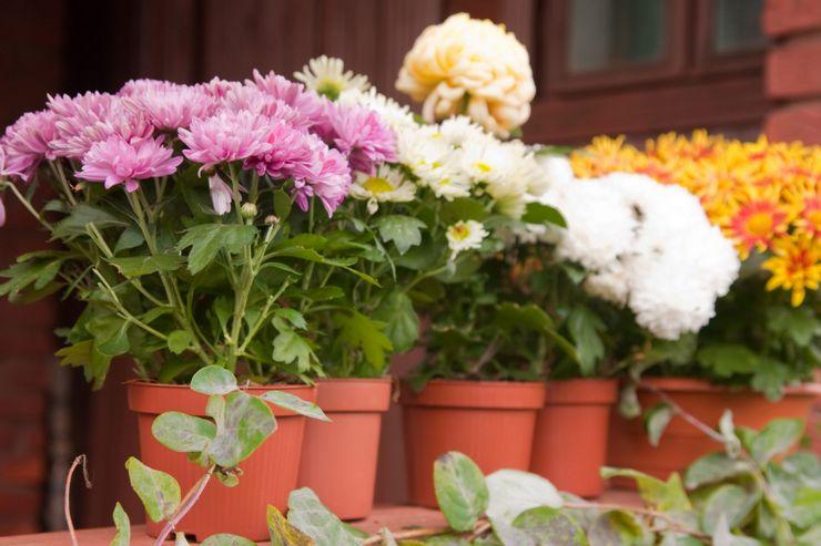 Виды и сорта домашних хризантем с фото и названиями