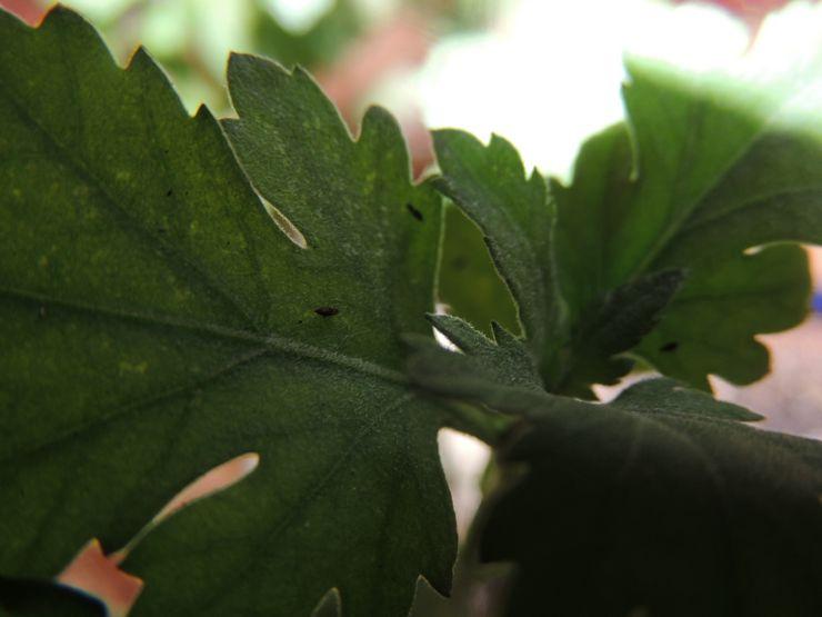 Вредители домашних хризантем