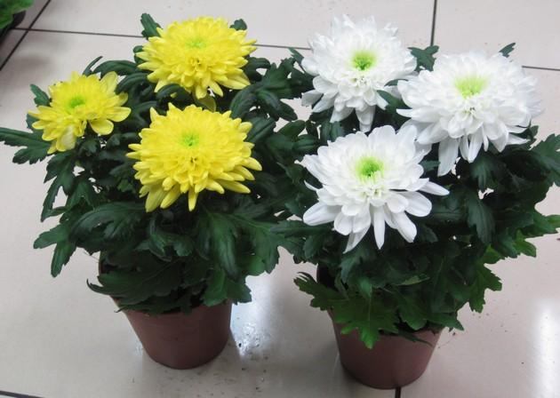 как следует выбирать хризантему при покупке